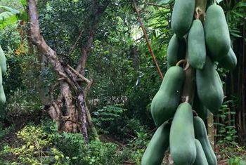 Le Jardin Du Mekong Homestay Papaya Tree
