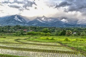 Reverie Siam Rice Fields