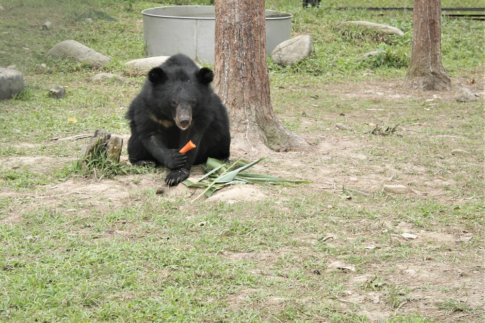 An adult bear needs around 5 kilograms of vegetable a day. That means the bear centre needs 850 kilograms each day to feed the bears
