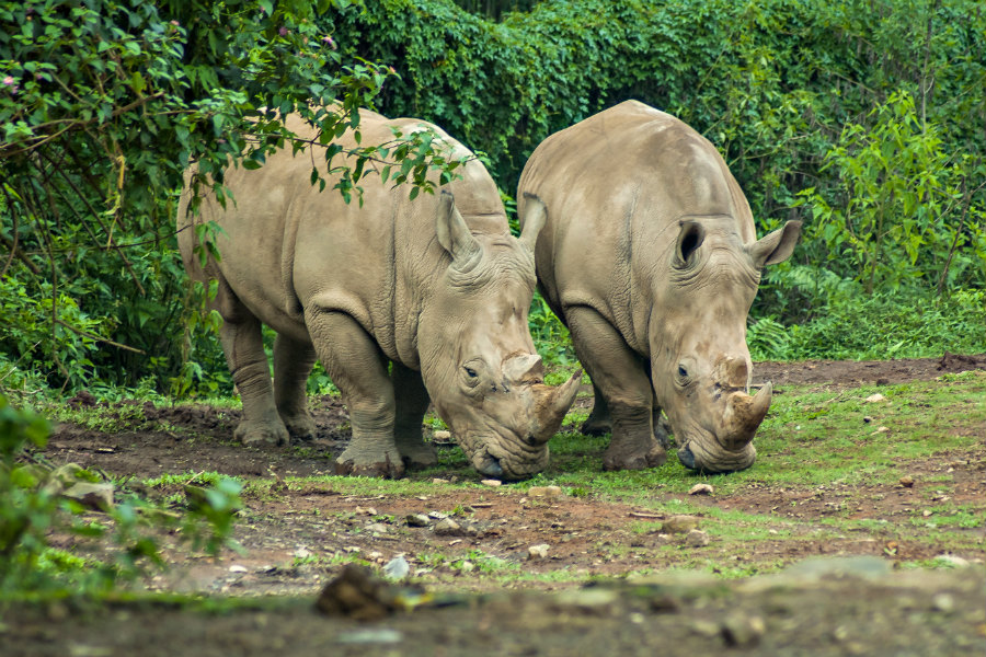 The park is home to several species of endangered plants and animals (Photo: two Javan rhinoceros, an endangered and protected animal in Ujung Kulon, Indonesia)
