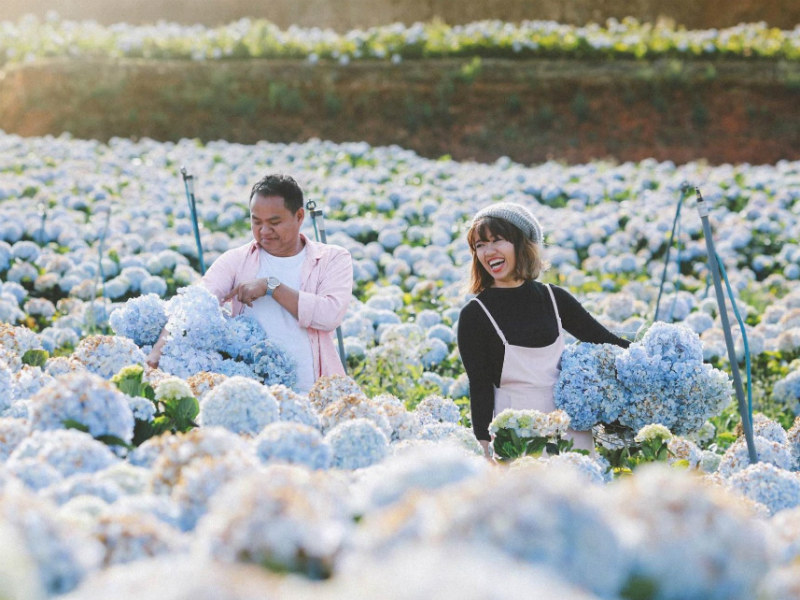 Hydrangea field - a favorite place for younge people coming to have a photo