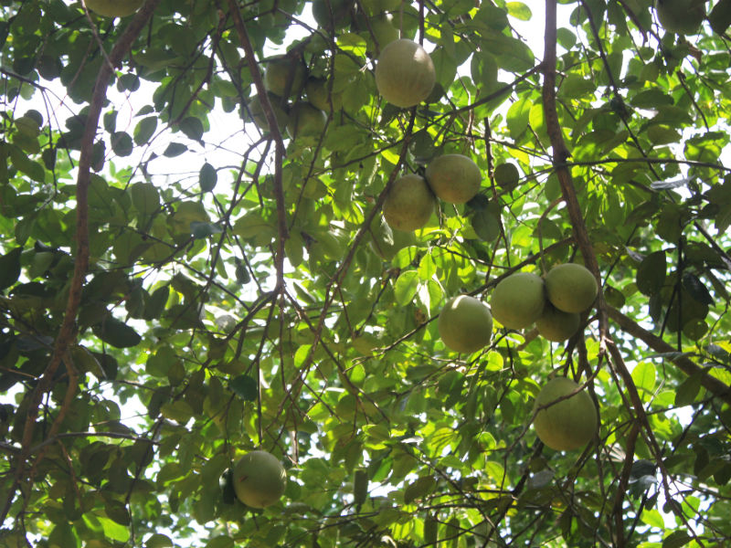Many grapefruit trees provide shade to a large area of the garden, cooling us down from the heat of a tropical summer day